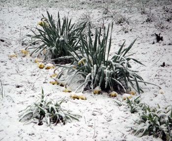 9b Daffodils
