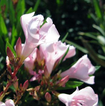 3 Oleander