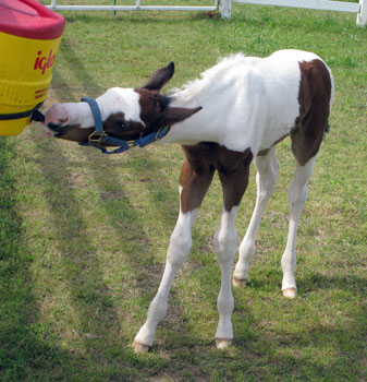 2 Foal