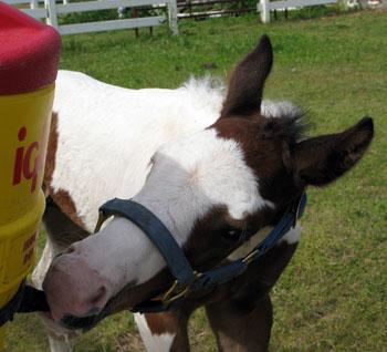1 Foal