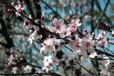 074_2219_plum_blossoms_sky