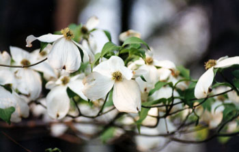 107_dogwood_blossoms_home