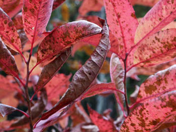 10_1050_red_leaves_1