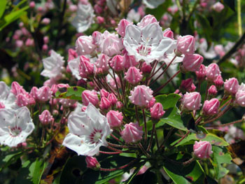 Mountain_laurel
