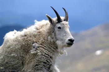Goat_1