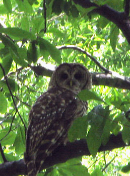 6_barred_owl