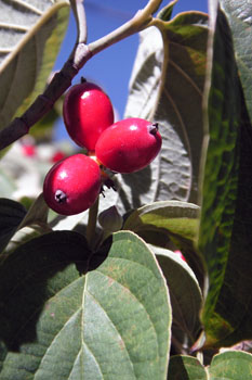 3536_dogwood_w_berries