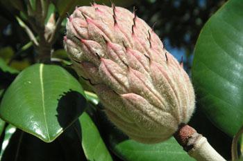3539_magnolia_pod