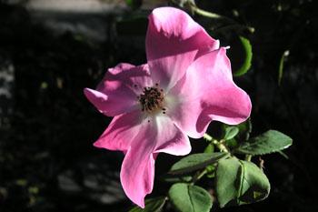 3549_cherokee_rose