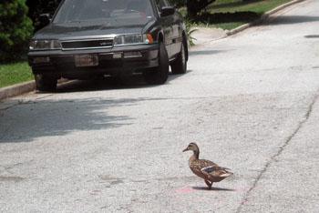 A_ducks_2
