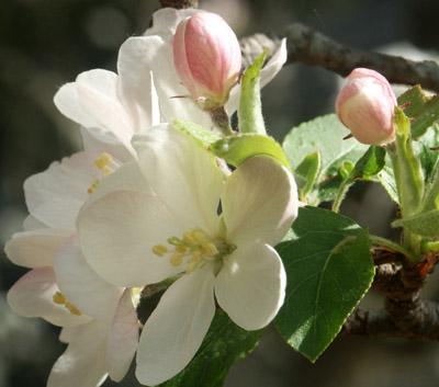 Crabapple_blossom