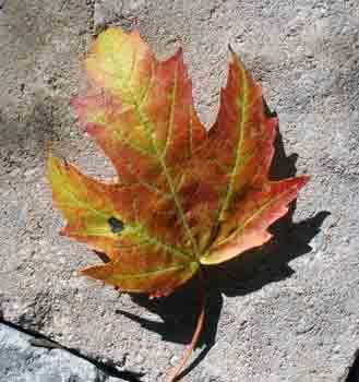 Fall_leaf