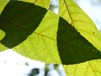 Overlapping_green_leaves_home_1