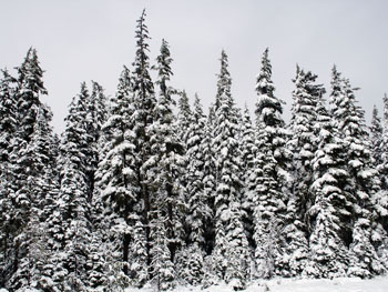 Snow_trees_mt_hood