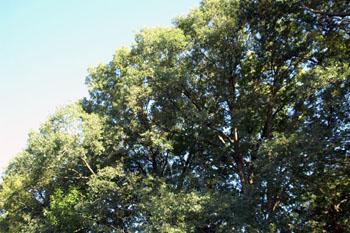 Tree_top