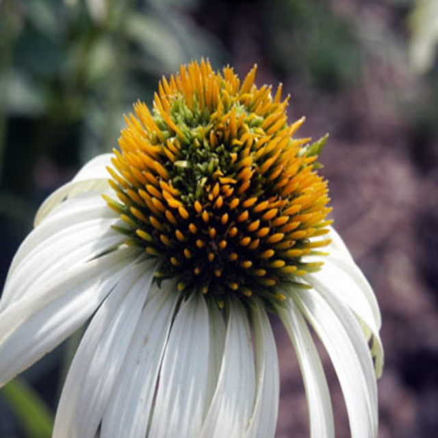 White_coneflower_abg