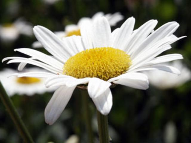 White_daisy_abg_2