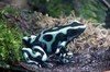 720_green_black_poison_frog