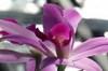 744_purple_orchid